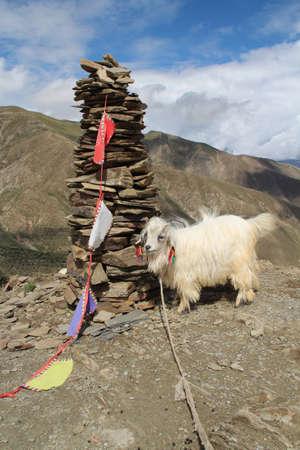 White pashmina goat beside the Mani Dui in Tibet, China