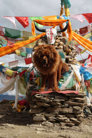 Tibetan mastiff and prayer flags at Gambara Mountain Pass in Tibet, China photo