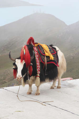 shaggy: A shaggy yak in traditional apparel at Yamdrok Lake, Tibet, China Stock Photo