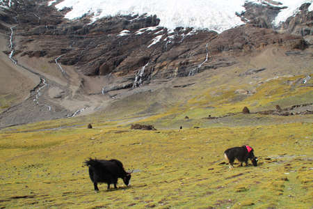 Landscape with the black yaks near the Karola glacier in Tibet, China