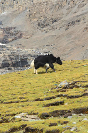 Landscape with the yak near the Karola glacier in Tibet, China