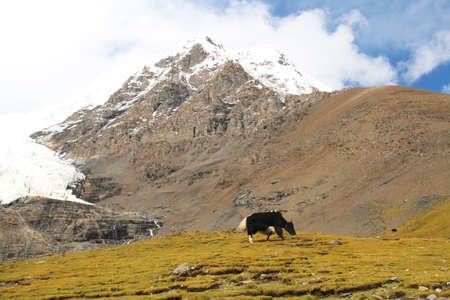 Landscape with the black yak near the Karola glacier in Tibet, China photo