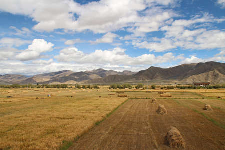 The highland barley field in sunny day, Tibet, China