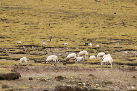 rock wool: A group of white pashmina goats with the green grassland in Tibet, China Stock Photo