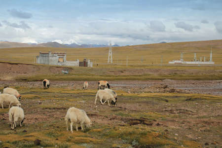 tibetan house: A group of white pashmina goats with the green grassland in Tibet, China Stock Photo