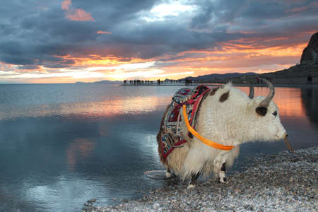View of the sunset with white yak at Namtso lake in Tibet, China