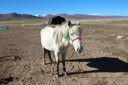 nomadic: Beautiful white pony with Tanggula Mountains and nomadic tents in Tibet, China