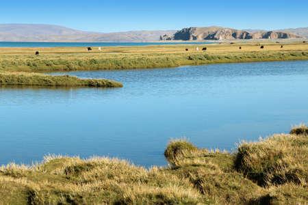 Beautiful grasslands with yaks, Namtso Lake, Tanggula Mountains and blue sky in Tibet, China photo