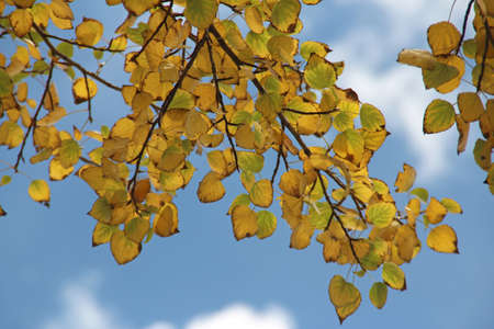Beautiful autumn leaves with the blue sky in Lhasa