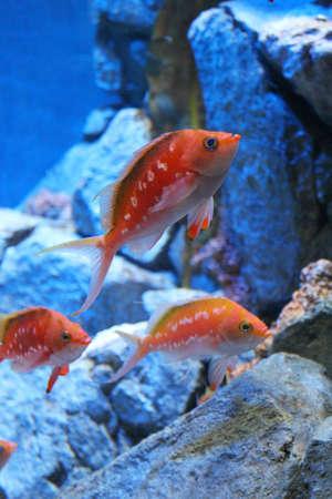 anthias: The orange Lyretail Anthias in the aquarium Stock Photo