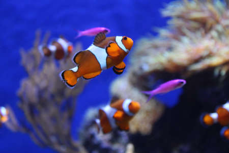 large group of animals: Clownfish in the aquarium