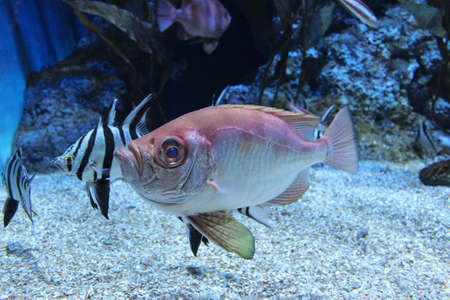 The Popeye Catalufa Soldierfish Pristigenys serrula also known as the Bigeye Soldierfish in the aquarium