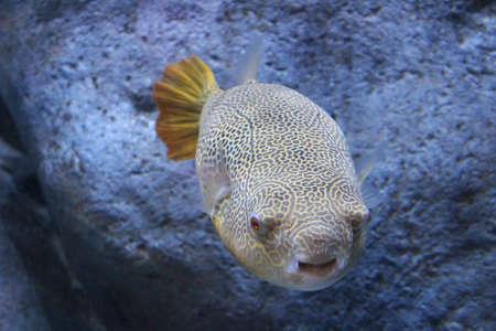 puffer: Elaborate skin pattern of the giant puffer in the aquarium