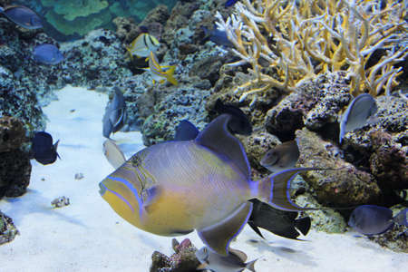 clown triggerfish: Queen Triggerfish Balistes vetula have a very distinctive color pattern