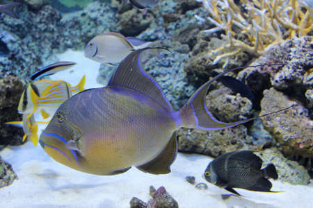 triggerfish: Queen Triggerfish Balistes vetula have a very distinctive color pattern