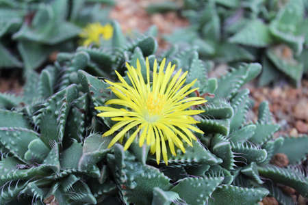thorn bush: Beautiful yellow flowers of Faucaria Mixed Species Tigers Jaw Seeds