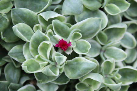 iceplant: A beautiful red flowers of Aptenia cordifolia. A species of succulent plant in the iceplant family known by the common names heartleaf iceplant and baby sun rose.