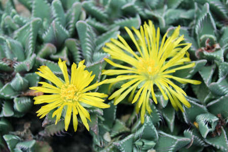 Beautiful yellow flowers of Faucaria Mixed Species Tigers Jaw Seeds