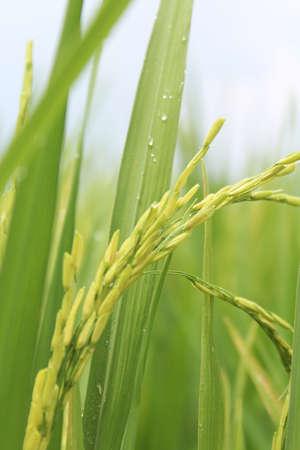 rice crop: The Asian rice crop at Sekinchan Malaysia