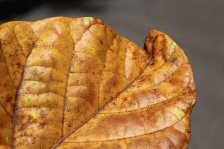 Brown leaf closeup Stock Photo