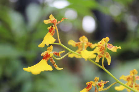 Beautiful dancing lady orchid blossom in the garden