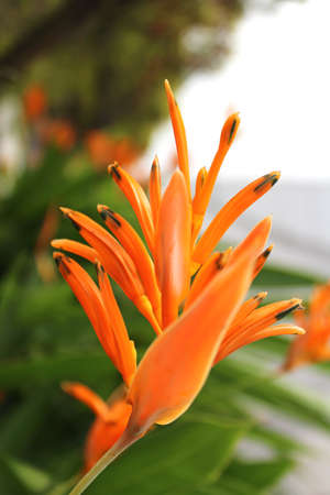 Beautiful vivid orange flower Bird of paradise flower blossom in the garden