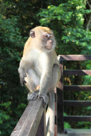 catchment: Long-tailed macaque (Macaca fascicularis) sitting on fence at Central Catchment Nature Reserve, Singapore Stock Photo