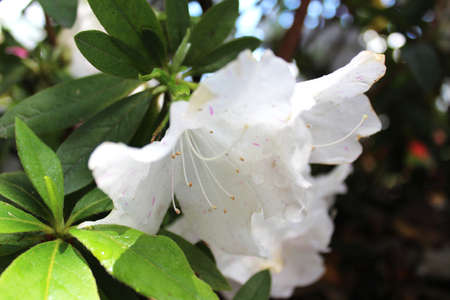dewdrop: White Azaleas with the dewdrop at Kyoto, Japan
