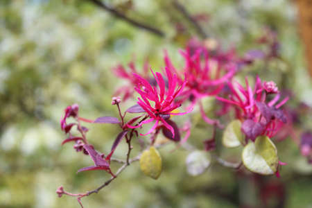 witch hazel: Purple witch hazel blossom during spring in Kyoto, Japan