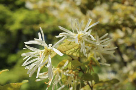 albero nocciola: Milky white witch hazel blossom during spring in Kyoto, Japan