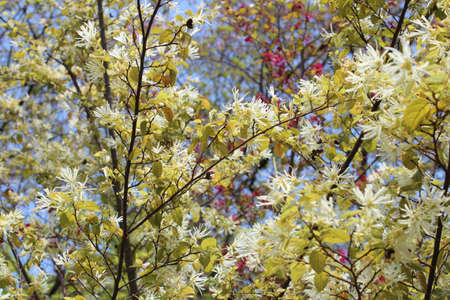 witch hazel: Milky white and purple witch hazel blossom during spring in Kyoto, Japan Stock Photo