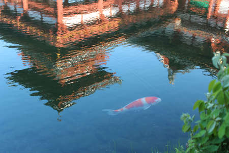 Big Koi in the clear pond with the reflection of Phoenix Hall at Byodo-in temple during sunset in Kyoto, Japan Stock Photo