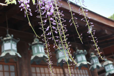 Wisteria with the blur bronze lanterns at Kasuga-taisha in Nara, Japan