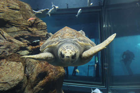 Sea turtle in aquarium Stock Photo