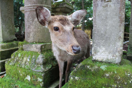 A deer in Kasuga-taisha at Nara, Japan Stock Photo