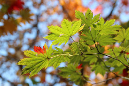 Beautiful maples blazes brightly in sunny day before it falls for autumn, South Korea