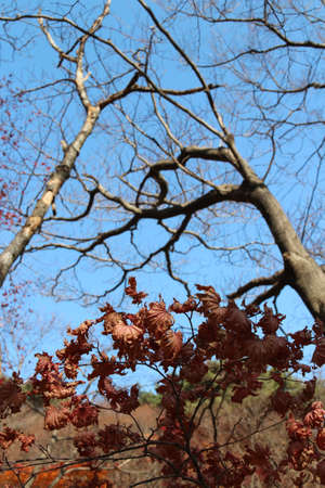 Maple tree leaves turning brown and curling in sunny day before it falls for autumn, South Korea