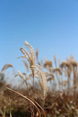 Pampas grass against clear blue sky in autumn, South Korea