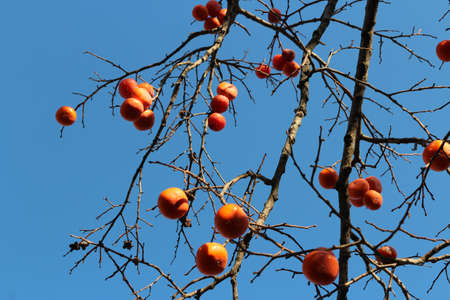 Ripe orange Korean persimmons on the tree againt the blue sky in autumn, South Korea Stock Photo