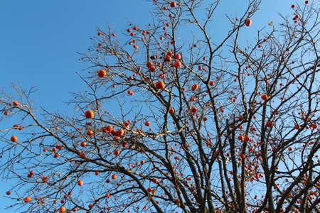 Ripe orange Korean persimmons on the tree againt the blue sky in autumn, South Korea Stock Photo