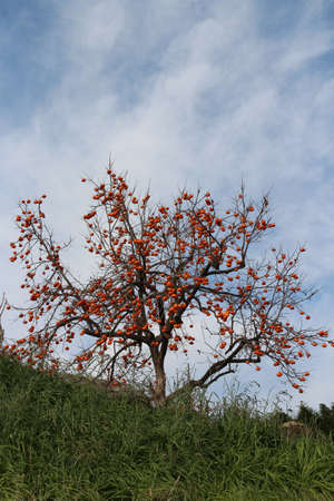 Korean persimmons tree with lots of ripe orange Korean persimmons in autumn, South Korea