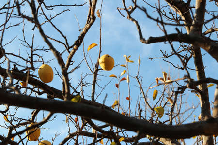 Ripe yellow Korean pears on the tree againt the blue sky in autumn, South Korea Stock Photo