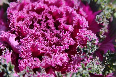 Closeup of blossom ornamental purple cabbage (Brassica aleracea) in autumn, South Korea