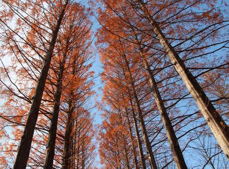 Metasequoia trees in autumn at Nami Island, South Korea