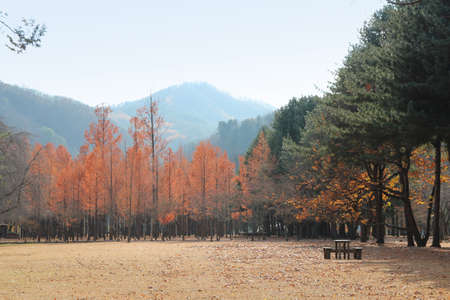 Nami Island with Metasequoia trees in autumn, South Korea