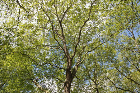 Spring view of Silver Maple Trees in a sunny day, Green Park, London