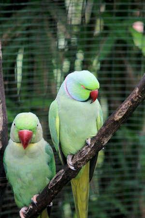 loros verdes: Un par de loros verdes en el �rbol