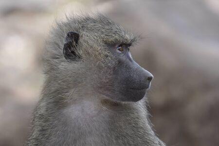 Baboon - Tanzania