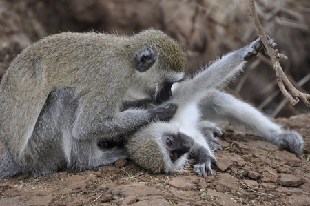 Vervet Monkey - Tanzania