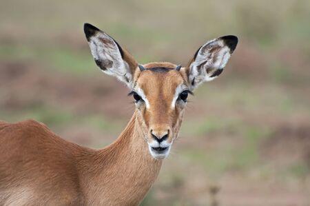 Impala - Serengeti Stock Photo